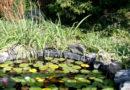 Come eliminare le alghe nel laghetto?