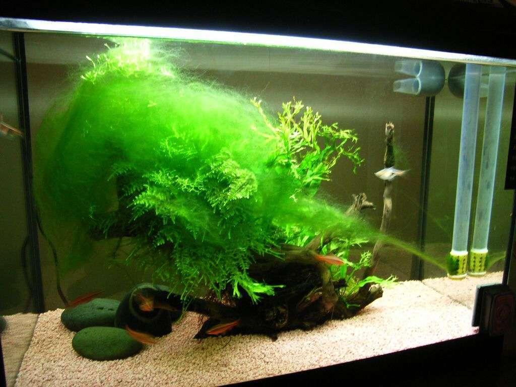 Alghe in acquario come eliminarle petingros blog for Eliminare le alghe dal laghetto
