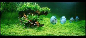 alghe in acquario