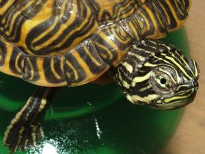 tartarughe acquatiche palustri