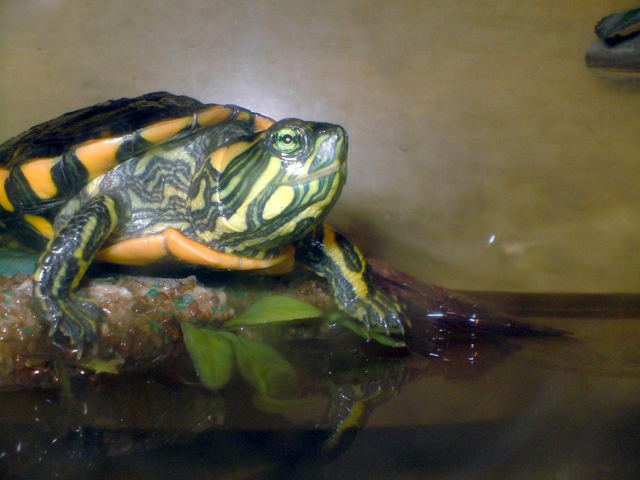 Le tartarughe acquatiche petingros blog for Acquario per tartarughe acquatiche
