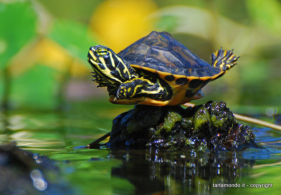 Malattia guscio molle tartarughe d 39 acqua for Acqua tartarughe