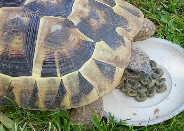 Come allevare tartarughe di terra in giardino petingros blog for Terrario per tartarughe di terra giardino