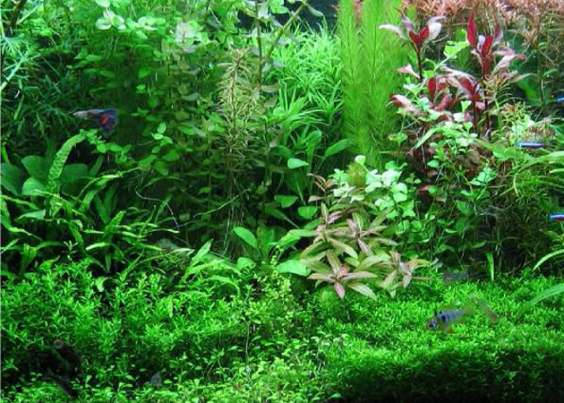 Le piante per acquario d 39 acqua dolce petingros blog for Piante acquisto