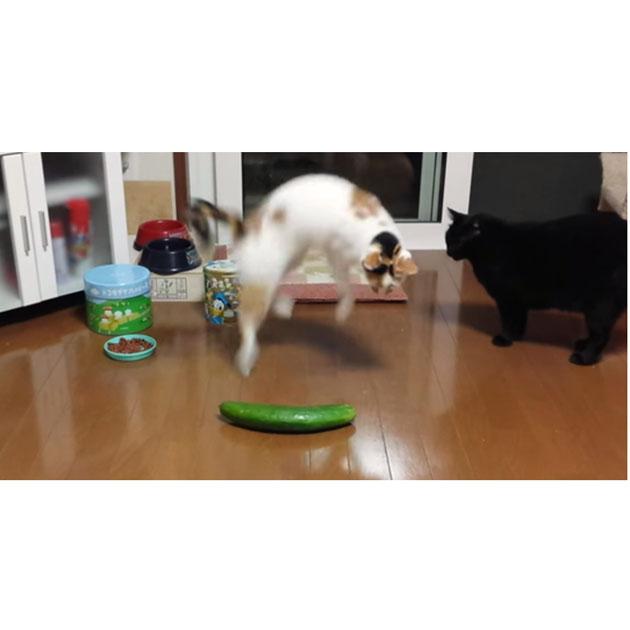 Gatti E Cetrioli Perché Ne Sono Così Spaventati Petingros Blog