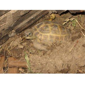 tartaruga in letargo