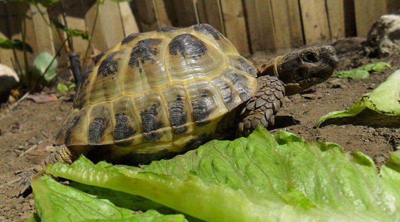testuggine con insalata