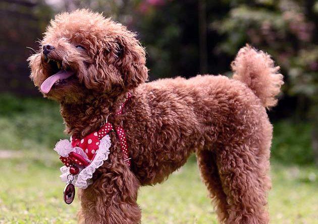 Barboncino Toy | Il perfetto cane da compagnia