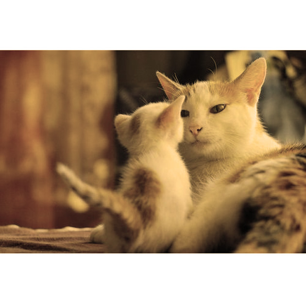 Gestazione nei gatti