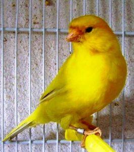 I canarini possono vivere fino a 10 anni