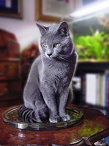 Il gatto certosino vive per circa 13-14 anni