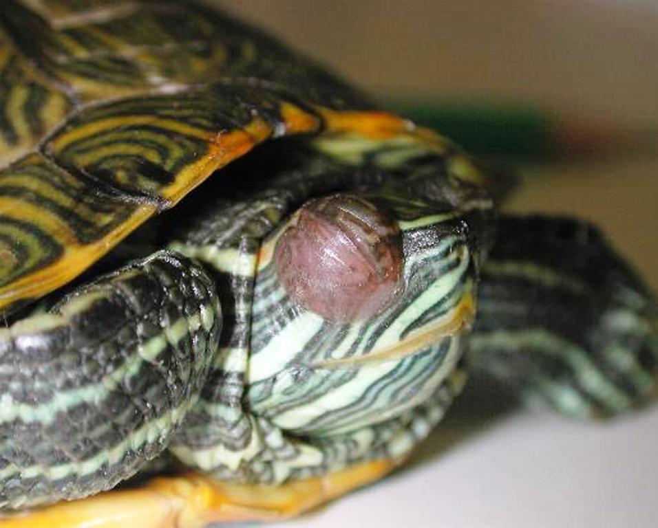 malattia occhi gonfi tartarughe