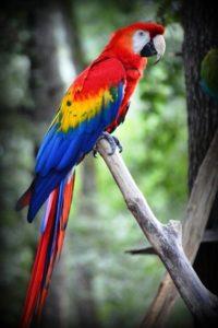 Il pappagallo ara è uno dei volatili più longevi