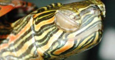 Tartaruga occhi gonfi rossi ipovitaminosi A