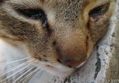 Clamidia gattino cosa fare in urgenza